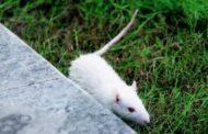 Боязнь мышей и крыс: как называется, причины и лечение