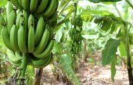 Бананы: содержание витаминов, пищевая ценность